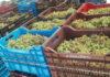 Παραλαβή σταφυλιών σε τελάρα κατά τον τρύγο στη SantoWines