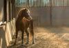 Μικρό άλογο σε στάβλο